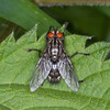Flesh fly, Sarcophaga species 8273