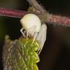 Crab Spider, Misumena vatia 8229