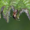 Common Flower Bug, Anthocoris nemorum 8332