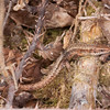 Common Lizard, Zootoca vivipara 8239