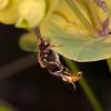 Gooden's Nomad Bee, Nomada goodeniana 8286