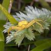 Crab Spider, Misumena vatia 0299