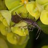 Spurge Bugs mating, Dicranocephalus medius 0215