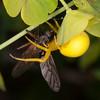 Crab Spider with prey, Misumena vatia 0252