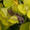 Spurge Bugs mating, Dicranocephalus medius 0216