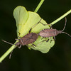 Spurge Bugs mating, Dicranocephalus medius 0240