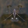 Common Pond Skater, Gerris lacustris 8903