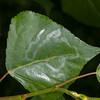Black Poplar leaf, Populus nigra with Poplar Bent-wing micro-moth mine, Phyllocnistis unipunctella 8871