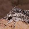 Convolvulus Hawk-moth, Agrius convolvuli 4971
