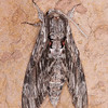 Convolvulus Hawk-moth, Agrius convolvuli 4966