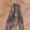 Convolvulus Hawk-moth, Agrius convolvuli 4968