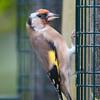 Goldfinch, Carduelis carduelis 4993