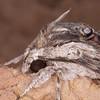 Convolvulus Hawk-moth, Agrius convolvuli 4972