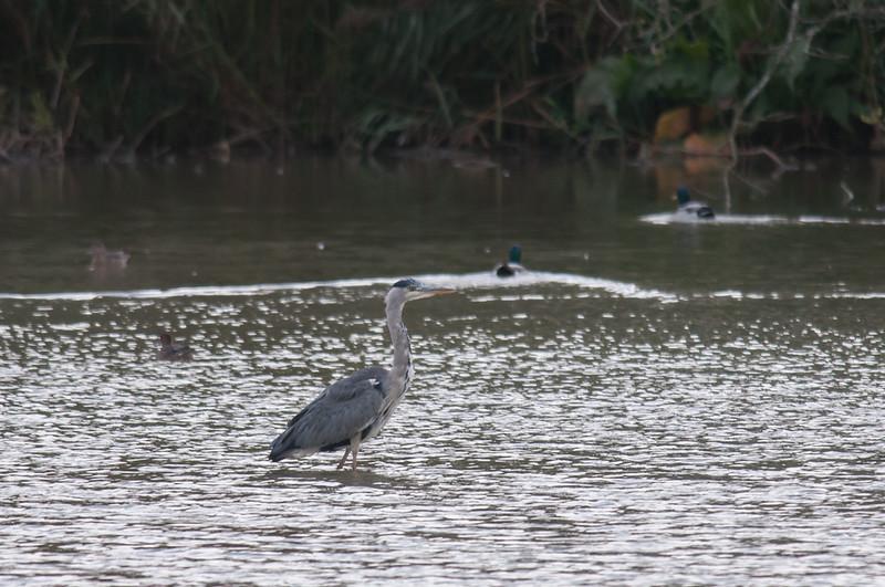 Grey Heron, Ardea cinerea 4940