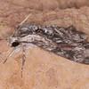 Convolvulus Hawk-moth, Agrius convolvuli 4967