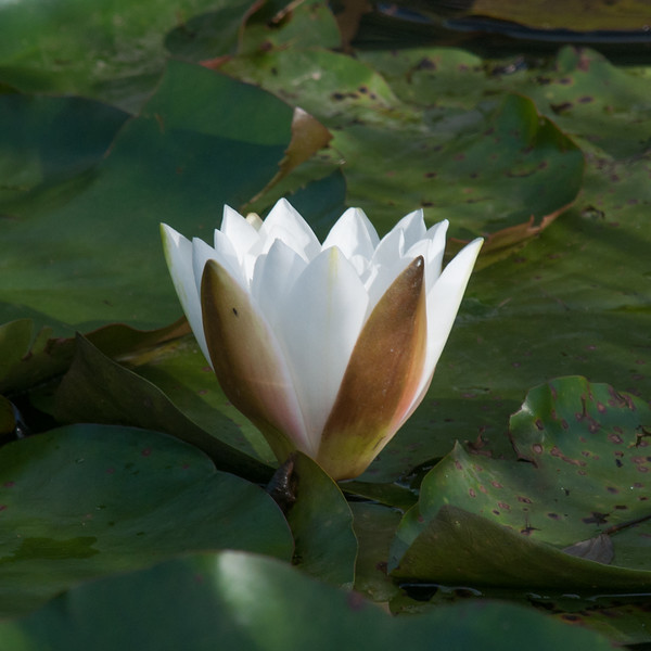White Water Lily, Nymphaea alba 5011