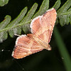 Rosy Tabby, Endotricha flammealis 6485