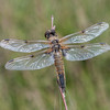 Four-spotted Chaser, Libellula quadrimaculata 6088