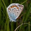 Silver-studded Blue ♂, Plebejus argus 6078