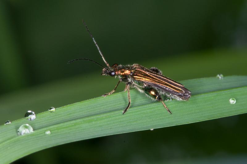 False Oil Beetle ♂, Oedemera nobilis 5507