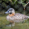 African White-backed Duck, Thalassornis leuconotus 5583