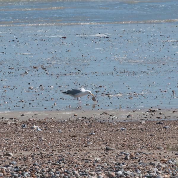 Herring Gull eating flatfish, Larus argentatus 5489