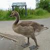 Canada Goose gosling, Branta canadensis 101