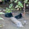 Moorhen chicks, Gallinula chloropus 5548