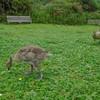 Canada Goose and gosling, Branta canadensis 103