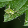 Common Green Capsid nymph, Lygocoris pabulinus 5501
