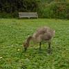 Canada Goose gosling, Branta canadensis 102