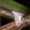Small China-mark, Cataclysta lemnata 5567