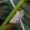 Small China-mark, Cataclysta lemnata 5569