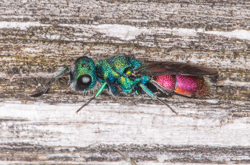 Ruby-tailed wasp, Chrysis species 5617