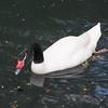 Black-necked Swan ♂, Cygnus melancoryphus 5596