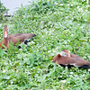 Black-bellied Whistling Ducks, Dendrocygna autumnalis 5591