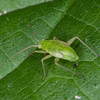 Common Green Capsid nymph, Lygocoris pabulinus 5499