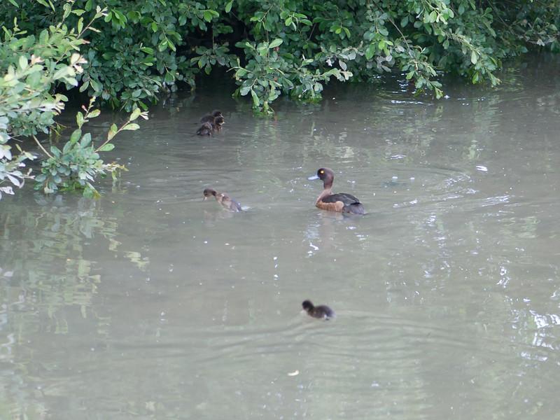 Tufted Duck with ducklings, Aythya fuligula 5588