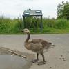 Canada Goose gosling, Branta canadensis 100