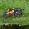 Harlequin Ladybird larva, Harmonia axyridis 5524