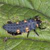 7-spot Ladybird larva, Propylea 7-punctata 5525