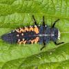 Harlequin Ladybird larva, Harmonia axyridis 5528
