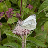 Green-veined White, Pieris napi 0760