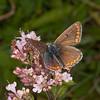 Brown Argus, Aricia agestis 0696