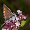 Brown Argus, Aricia agestis 0736