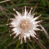 Greater Knapweed, Centaurea scabiosa 0751