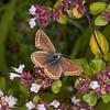 Brown Argus, Aricia agestis 0732