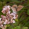 Brown Argus, Aricia agestis 0699