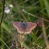Brown Argus, Aricia agestis 0730