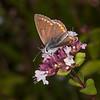 Brown Argus, Aricia agestis 0735